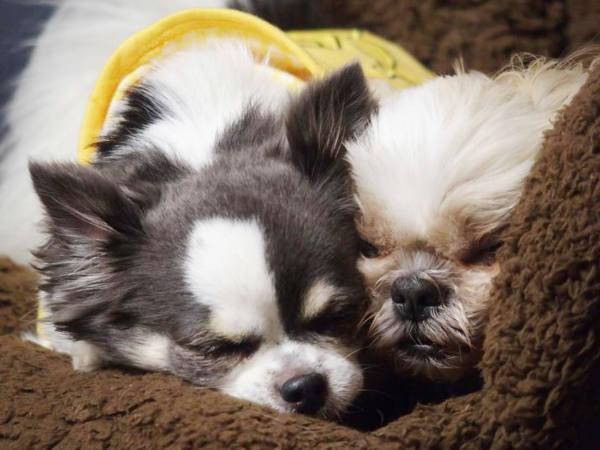 寄り添って寝る犬