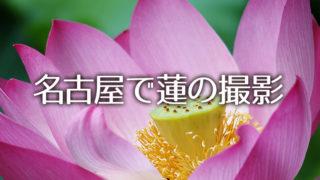 蓮の花の撮影