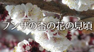 フンザの春、杏の花の見頃