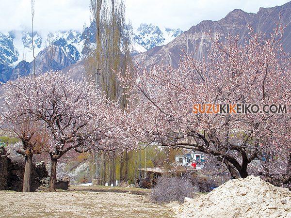 ホッパー村の杏の花